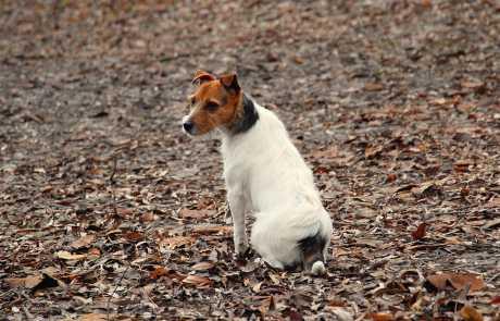 Parson Russell Terrier_PRT