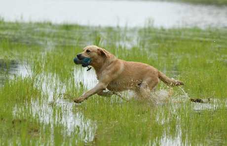 Labrador Retriever LR_FCI-8